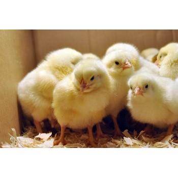 Выбираем бытовой инкубатор для яиц